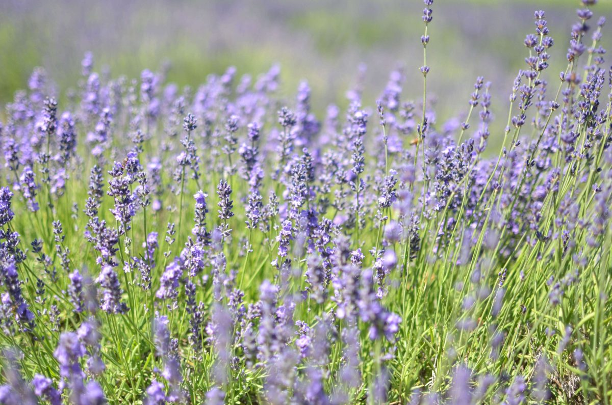 Day Trips and Travels Lavender by the Bay Details