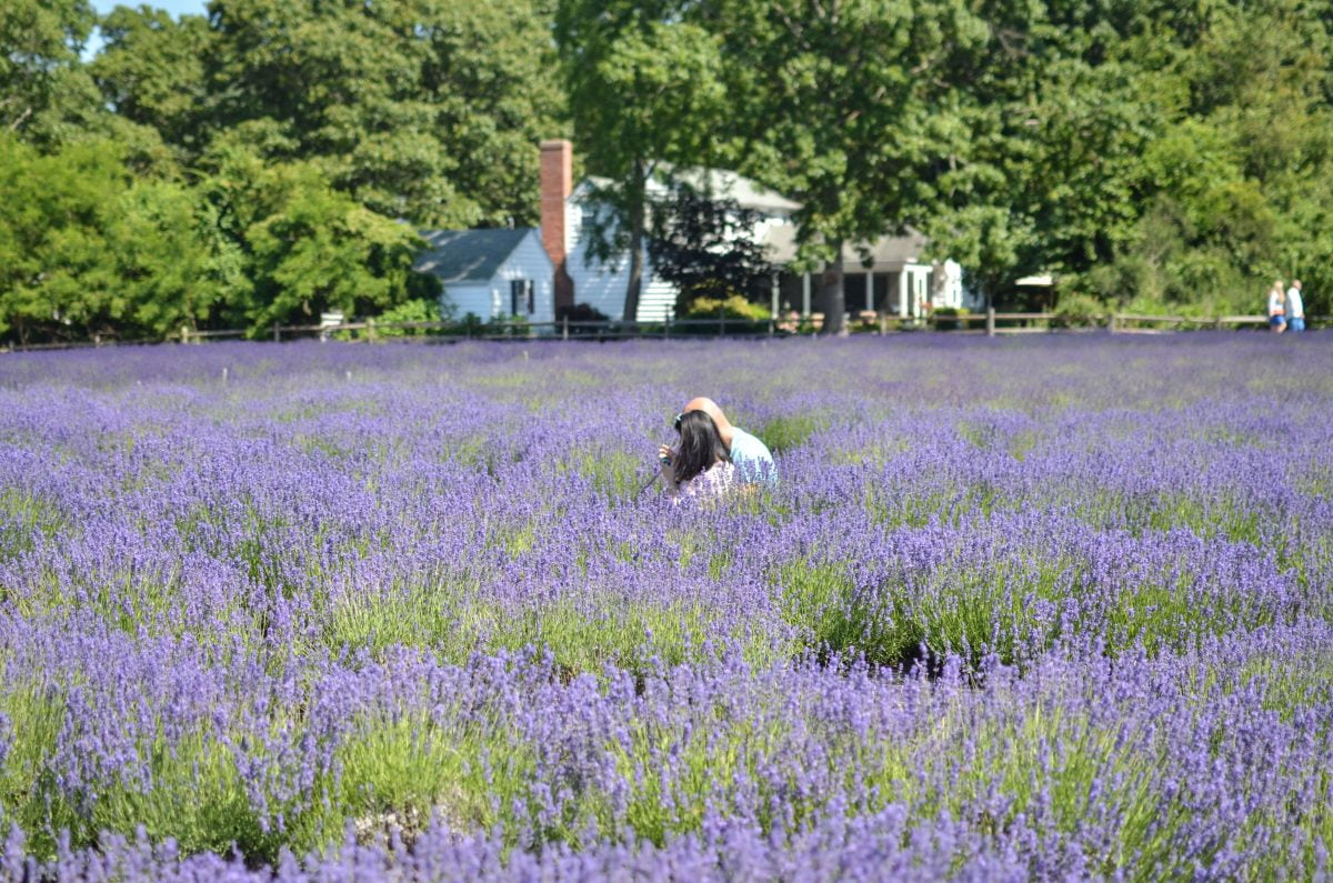 Day Trips and Travels Lavender by the Bay Relaxing
