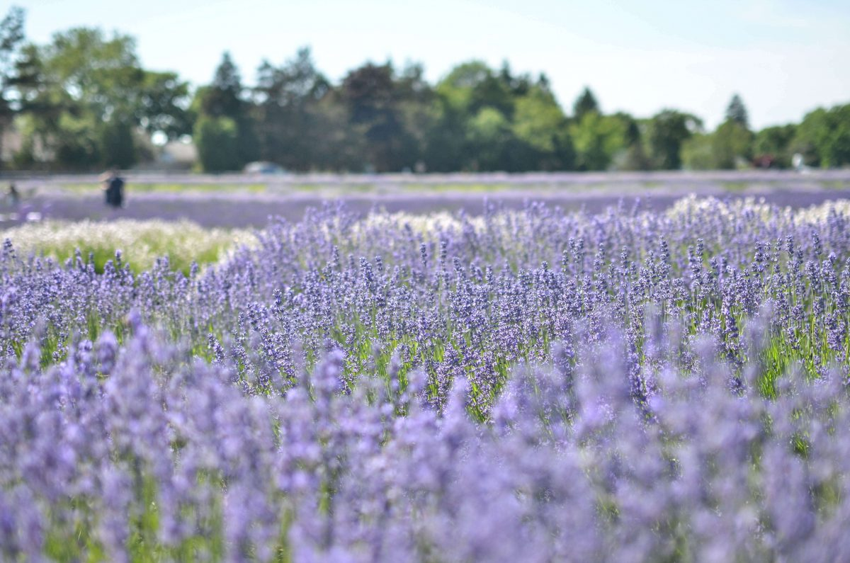 Day Trips and Travels Lavender by the Bay The Field