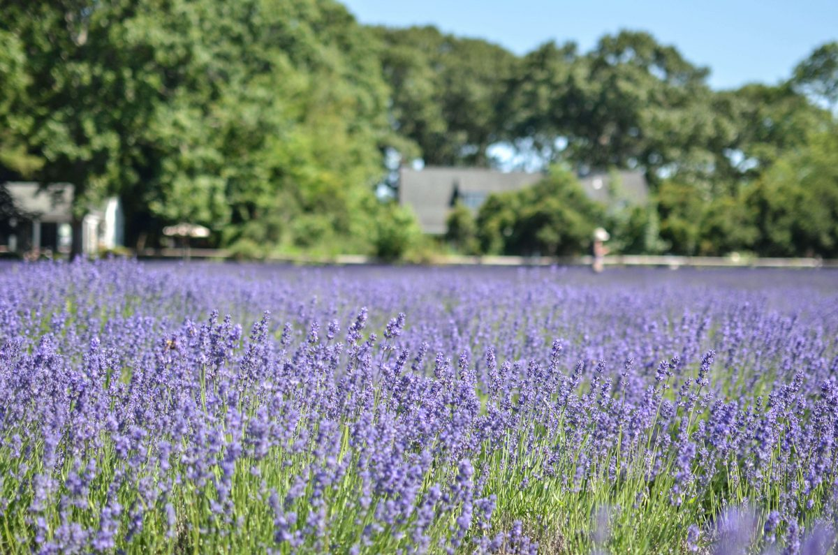 Day Trips and Travels Lavender by the Bay Vast Field