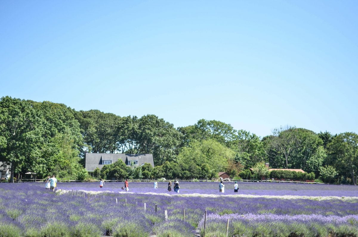 Day Trips and Travels Lavender by the Bay
