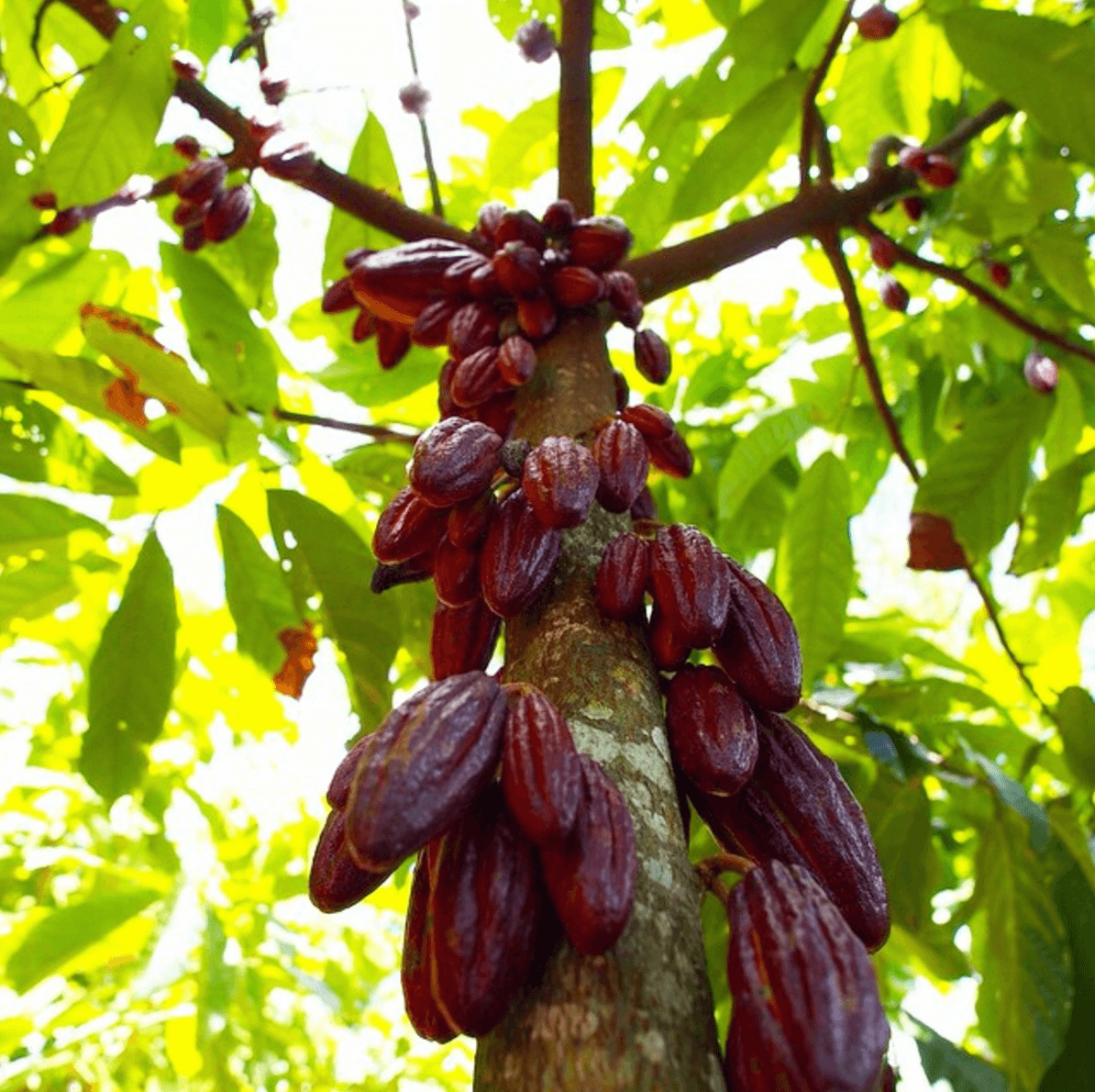 Shop Specialties Cacao Prieto Chocolate Theobroma Cacao Tree