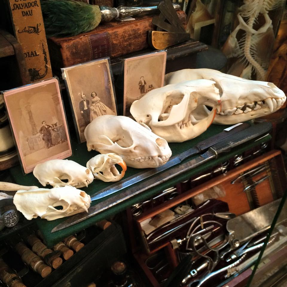 Curiosities Insider Interviews Wanderlust Girls Obscura Antiques Animal Skulls
