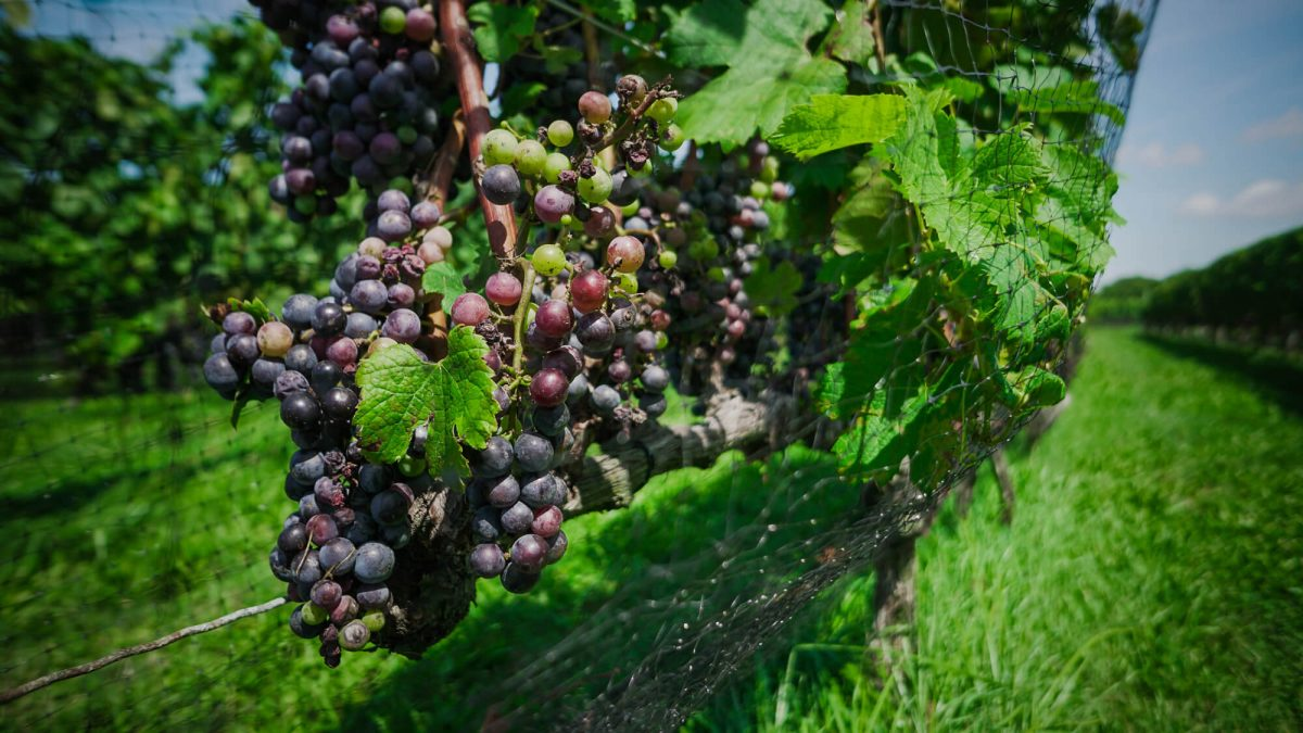 Day Trips and Travels Macari Vineyards Grapes